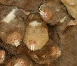 Mole_rats