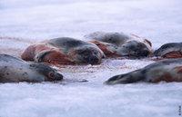 Seal_killing